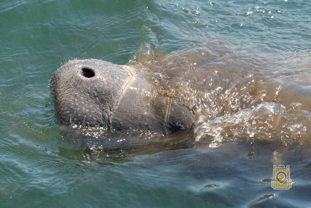 Swim With Manatees Florida: Manatee coming up for air