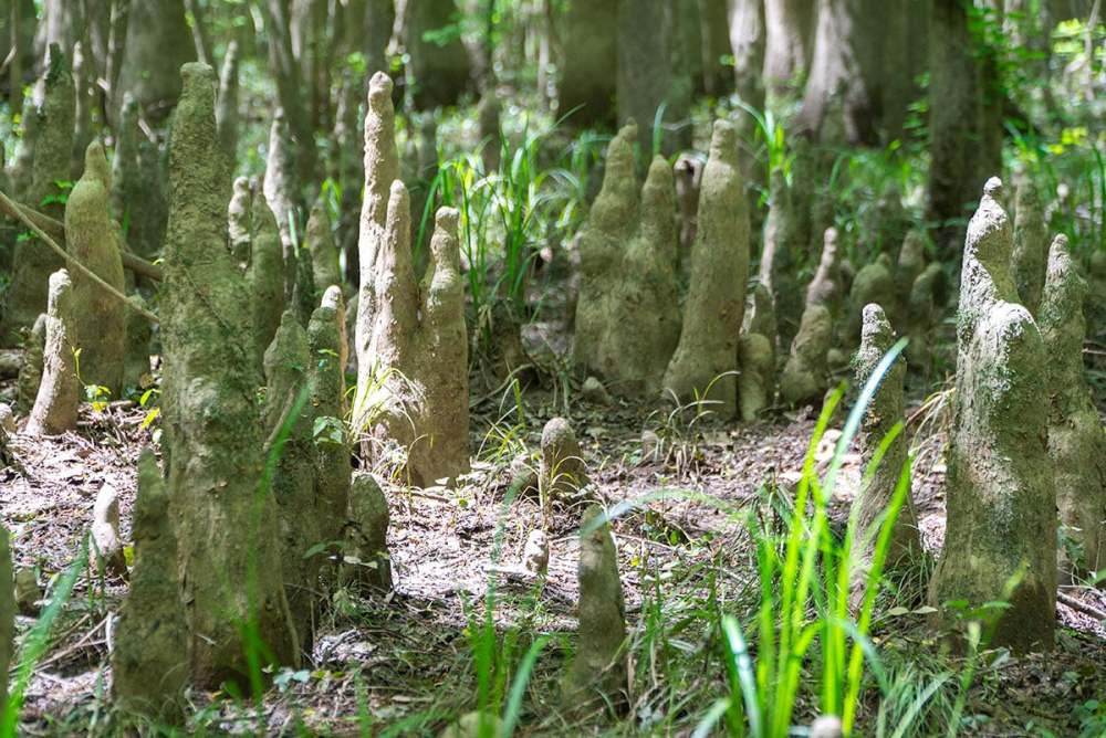 Visiting Congaree National Park: Cypress Knees