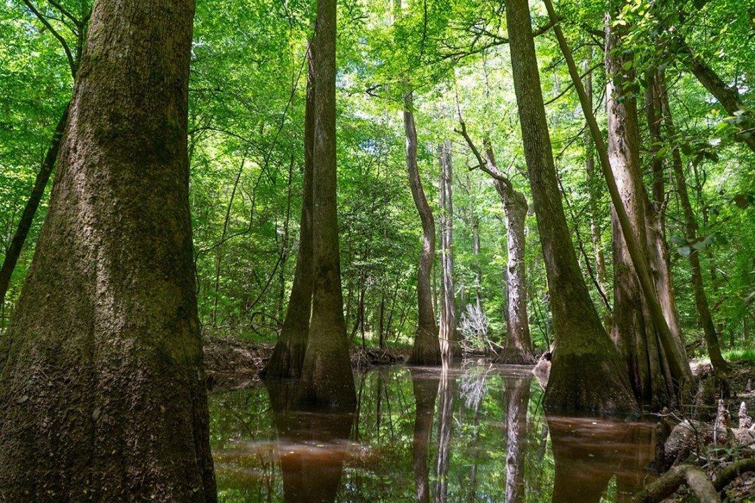 Visiting Congaree National Park: Cypress Trees