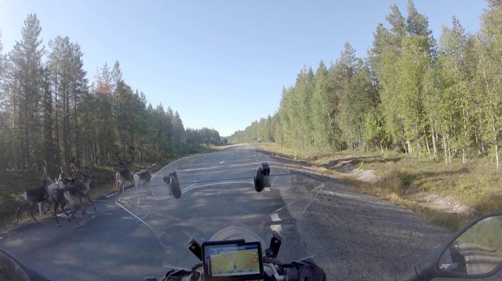 Reindeer running along the road, Sweden