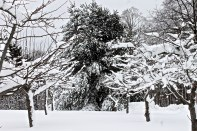 Snow Covered Apple Trees