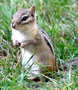 Chipmunks...You Can't Help But Love The Little Rascals