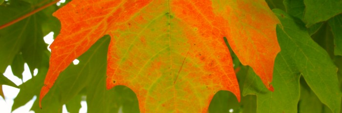 Autumn Sugar Maple Leaf