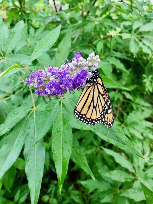 monarch butterfly on vitex plant