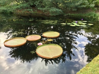 huge lily pads in reflecting pond