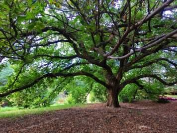 huge spreading tree