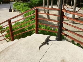 iguana on steps