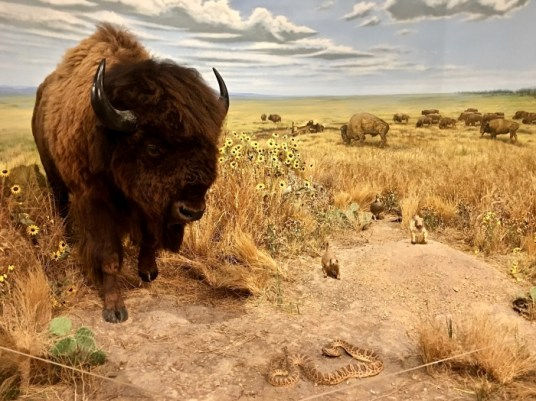 Kansas Museum of History buffalo prairie