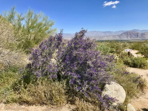 Anza Borrego 2147 - Wildflower Chasing at Anza-Borrego Desert State Park California