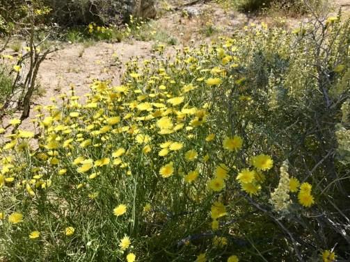 Anza Borrego 2180 - Wildflower Chasing at Anza-Borrego Desert State Park California