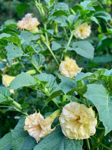 Double Yellow Datura