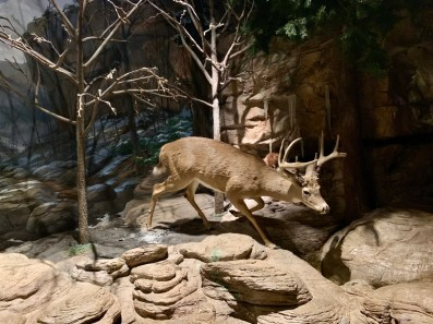 Fernbank Deer diorama