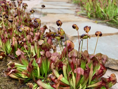 Georgia pitcher plants 1