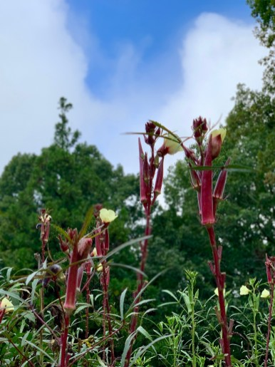 Red Okra plants