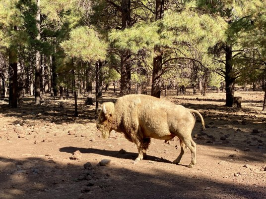 Bearizona albino bison - Take the Train to Grand Canyon National Park: An Insider's Guide