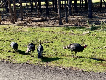 Bearizona wild turkeys - Take the Train to Grand Canyon National Park: An Insider's Guide