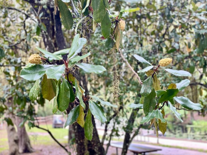 magnolia seed pods  - Discover Lake County Florida Outdoor Adventures