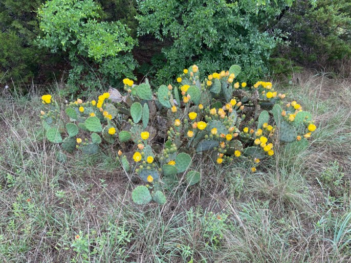 yellow blooming prickly pear cactus - Plan an Unforgettable McKinney Falls State Park Camping Trip