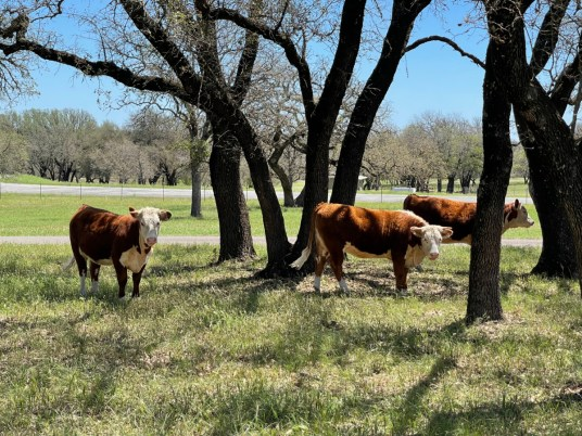 LBJ Ranch cattle - Explore LBJ Ranch and the Texas Hill Country