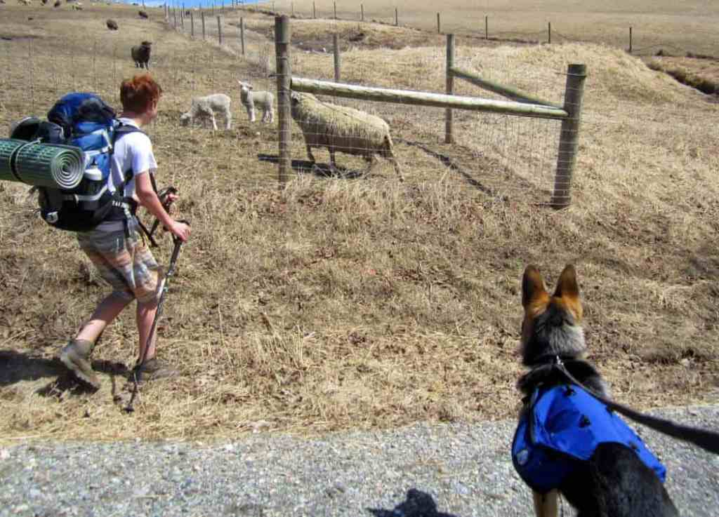 Hiking through the farm at Merck. Gabe, with a hiking pack, a German shepherd, and several sheep.