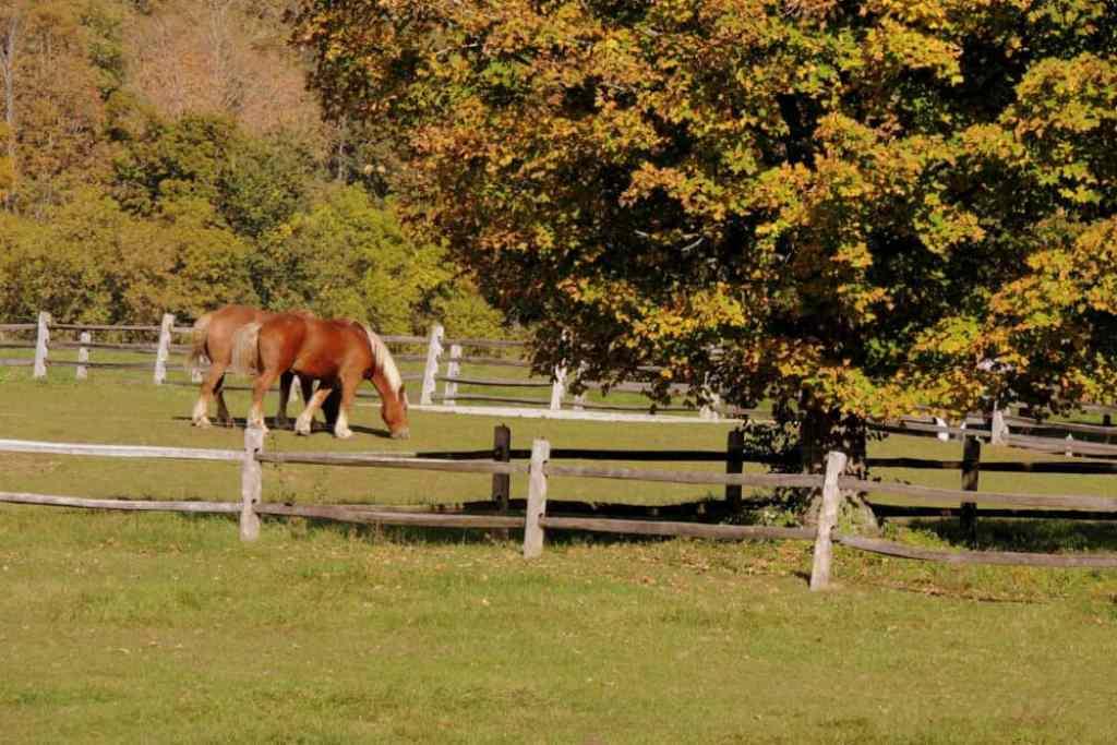 Two draft horses at Billings Farm & Museum in Woodstock, VT
