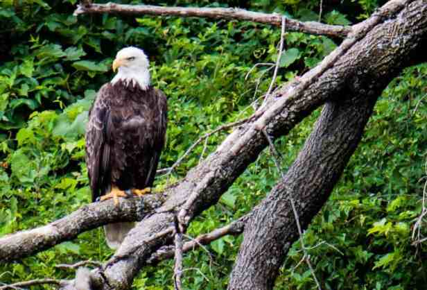 Connecticut River Bald Eagle