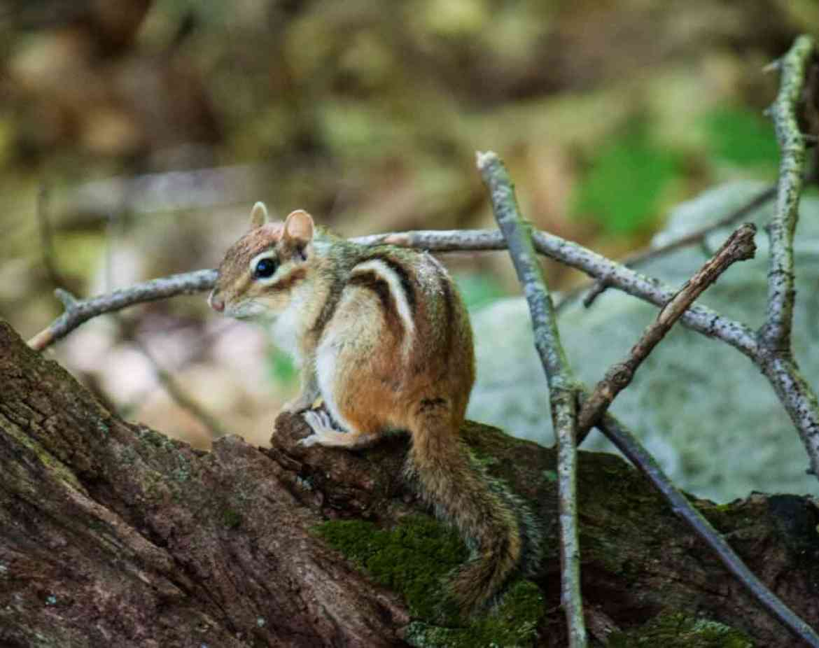 A chipmunk at Emerald Lake State Park in Vermont