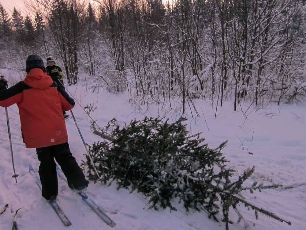 Two young boys drag a Christmas tree through the national forest
