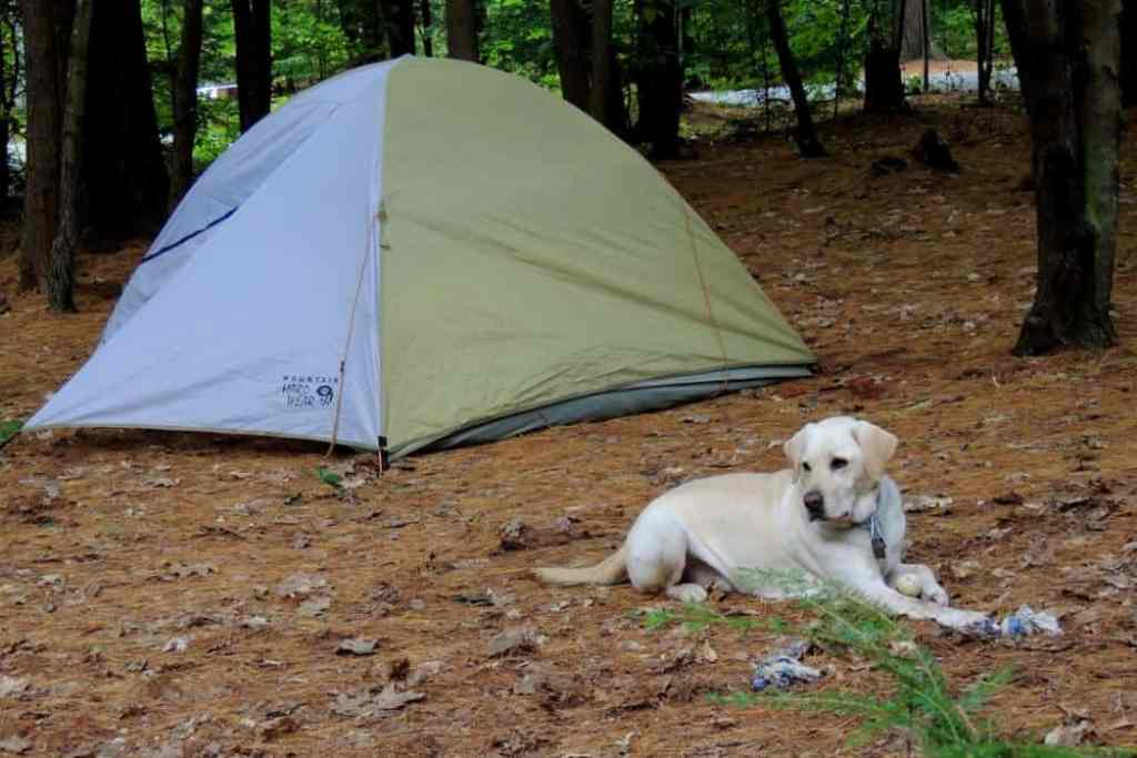 A yellow lab lies in front of a tent during a camping trip