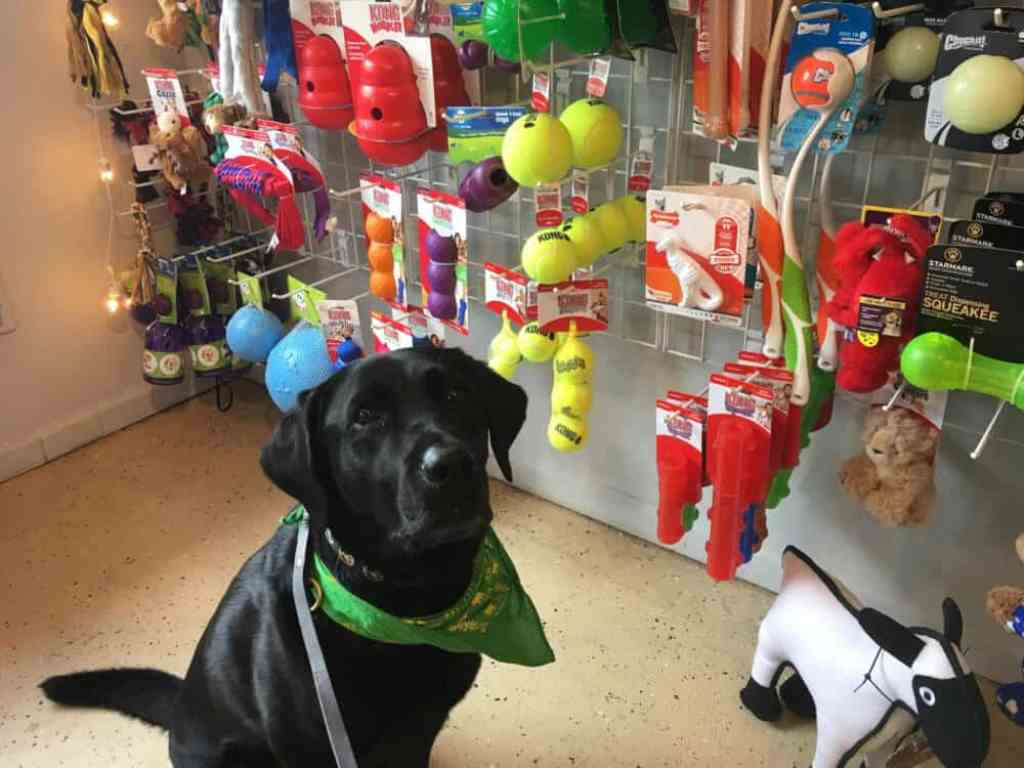 Flynn the black lab in Stella Blue's Pawtique, Blowing Rock, NC