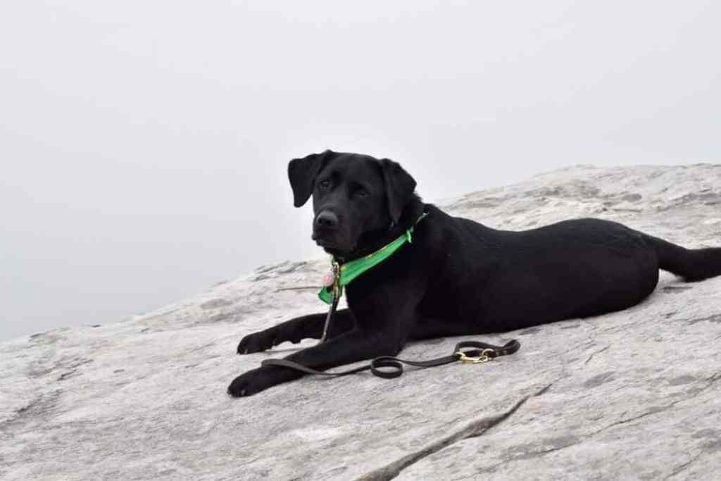 A black lab lying on a boulder in Blowing Rock, NC