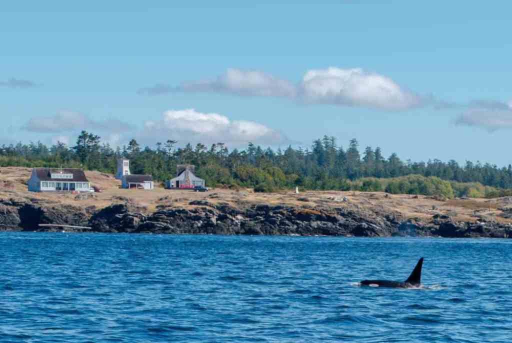 A male Southern Resident Orca - J26, swims off the shore of San Juan Island
