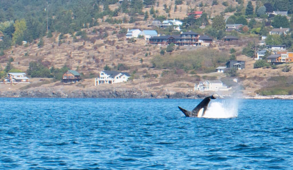 A Southern Resident Orca jumps off the coast of San Juan Island