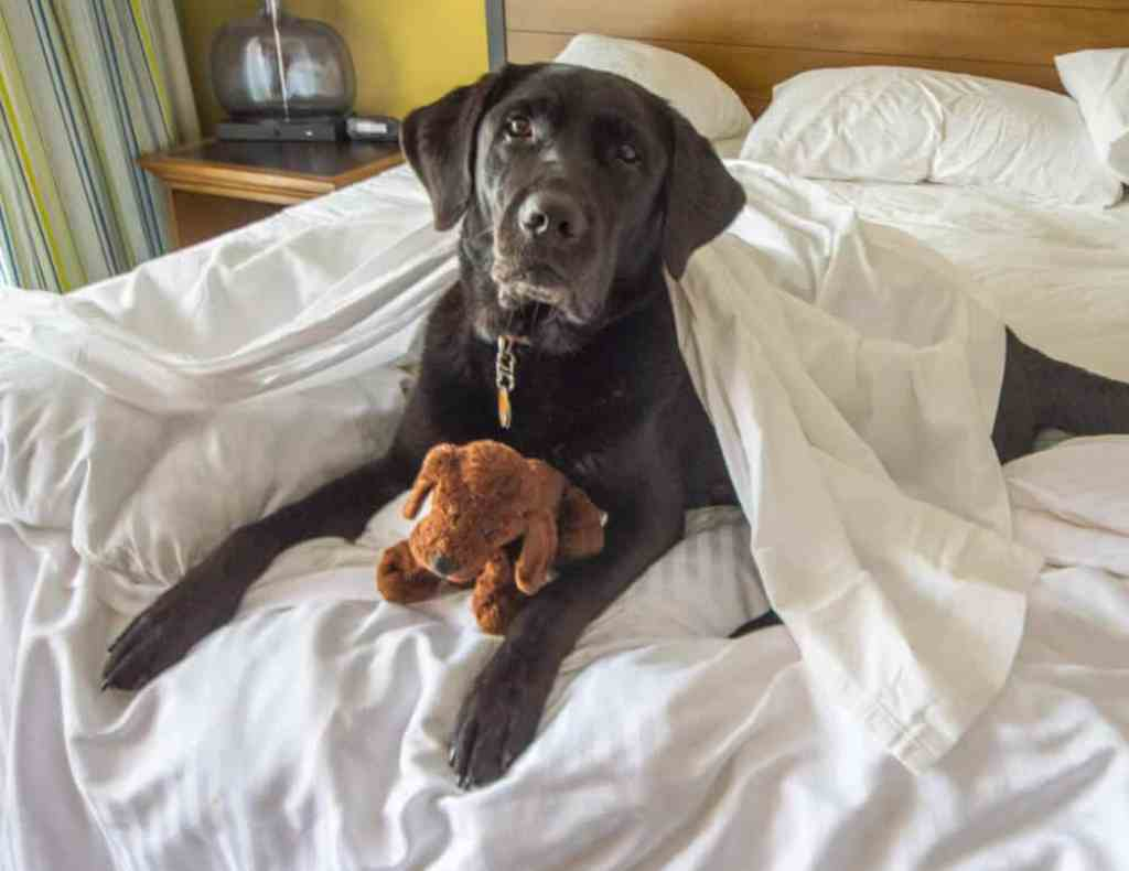 A black lab lies on a bed at River Walk Resort at Loon Mountain