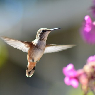 Hummingbird In Flight Magnet