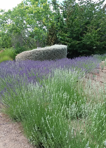 Winery Walks Think Lavender at Matanzas Creek Winery  Walking in Sonoma Countymostly