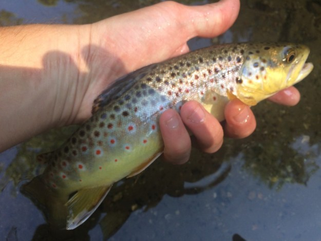 trout caught on an ant