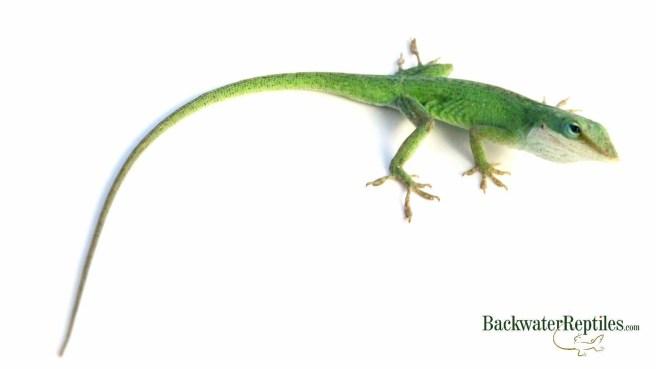 green anole beginner reptile