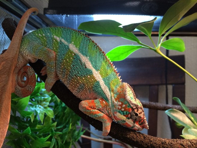Panther chameleon cage