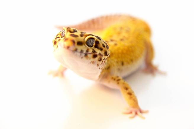 Do Leopard Geckos Need Uv Light