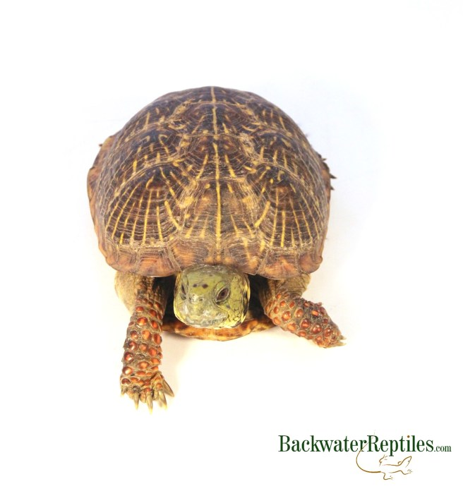 adult ornate box turtle