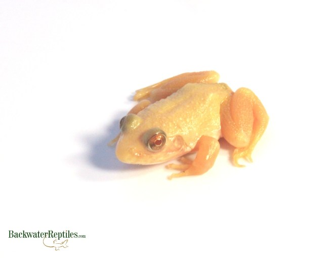 albino bullfrog