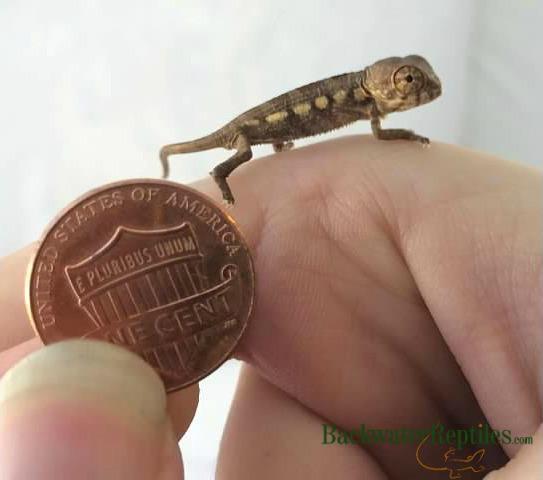 baby chameleon lizard