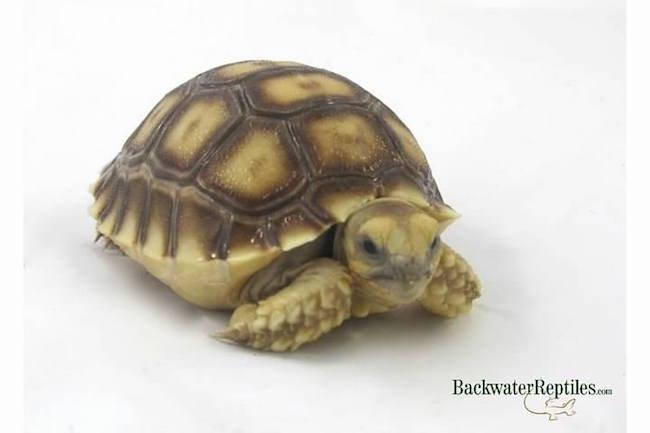 baby pet tortoise