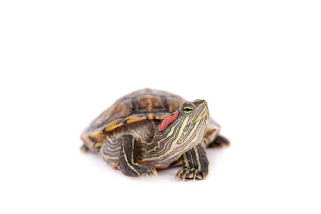 Most Popular Pet Turtles
