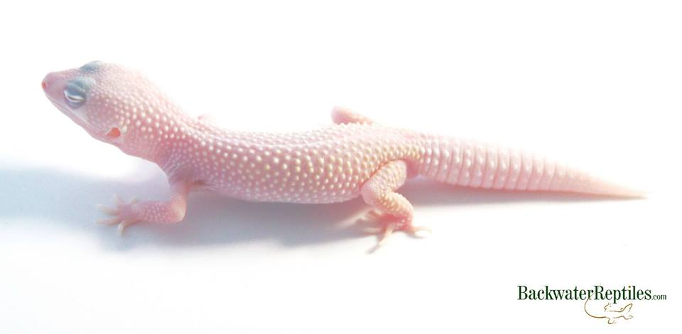 blizzard leopard gecko cage
