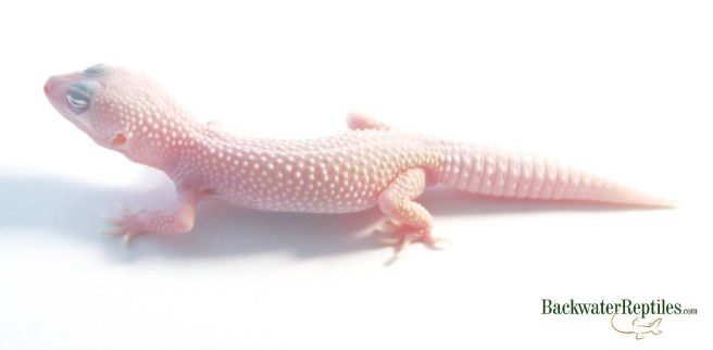 blazing blizzard leopard gecko