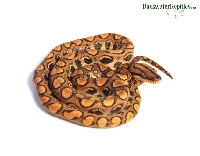 Boas Archives - Backwater Reptiles Blog