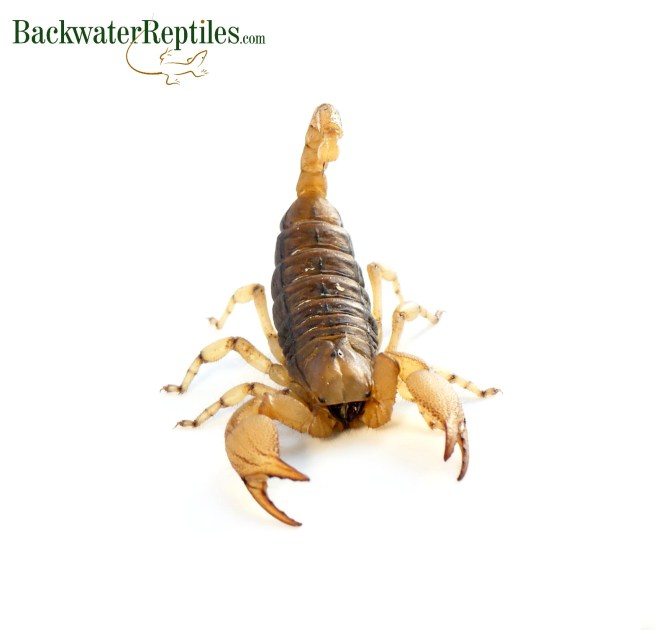 burrowing scorpion
