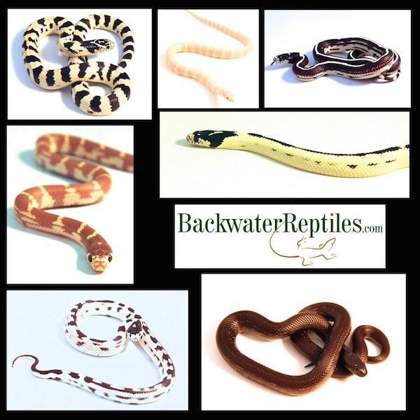 pet king snake morphs